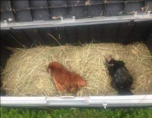 Slachtoffers van de kippengriep