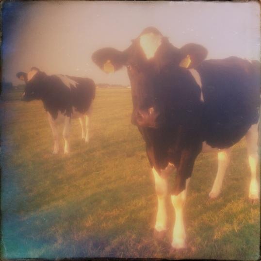 Cow Days